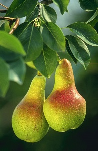 A pair of pears!